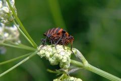 L'arancia con le bande nere ostacola - lineatum di Graphosoma - la seduta su un fiore Fotografia Stock
