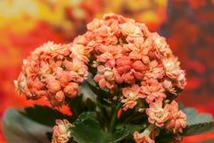 L'arancia fiorisce il kalanchoe Immagini Stock Libere da Diritti