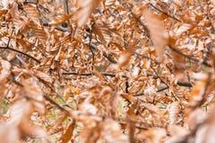 L'arancia ha asciugato le foglie dei morti sul ramo molto Autumn Wrinkled Ou denso Fotografia Stock Libera da Diritti