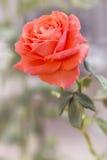 L'arancia luminosa è aumentato su un letto di fiore un giorno di estate soleggiato Immagini Stock
