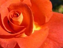 L'arancio è aumentato Fotografia Stock