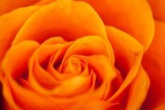 L'arancio è aumentato Fotografia Stock Libera da Diritti