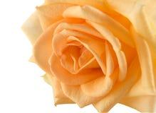 L'arancio è aumentato sul bianco Fotografia Stock
