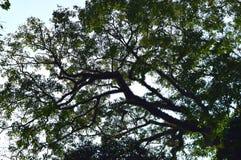 L'arbre énorme avec des branches cloutées avec le vert laisse - la couverture verte dans la forêt tropicale pour l'environnement photos stock