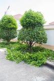 L'arbre après élagage Photo libre de droits