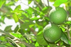 L'arbre avec la chaux verte porte des fruits avec des feuilles sur le fond Fruit vert organique de citron prêt pour la récolte Photos libres de droits