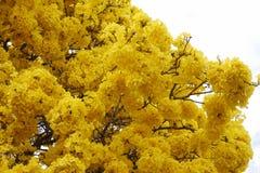 L'arbre avec la tenue de protection individuelle jaune fleurit le jour clair de ciel photographie stock libre de droits