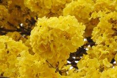 L'arbre avec la tenue de protection individuelle jaune fleurit le jour clair de ciel image stock