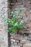 L'arbre avec le vert laisse l'élevage sur le vieux mur de briques Image libre de droits