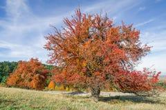 L'arbre avec les feuilles complètement rouges contre un arbre orange et à feuilles persistantes a couvert le côté de montagne Photo libre de droits