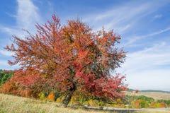 L'arbre avec les feuilles complètement rouges contre un arbre orange et à feuilles persistantes a couvert le côté de montagne Photographie stock libre de droits
