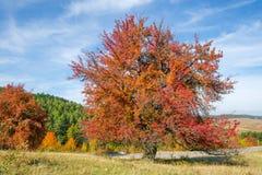 L'arbre avec les feuilles complètement rouges contre un arbre orange et à feuilles persistantes a couvert le côté de montagne Image libre de droits