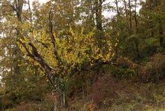 L'arbre avec les feuilles jaunes photo stock