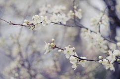 L'arbre blanc fleurit au printemps Juste plu en fonction Image libre de droits