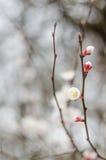 L'arbre blanc fleurit au printemps Juste plu en fonction Photo stock