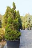L'arbre conifére à feuilles persistantes de Taxus élevé a équilibré dans la forme de la spirale Photos libres de droits