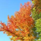 L'arbre d'érable coloré lumineux part de l'automne de ciel bleu Image stock