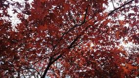 L'arbre d'érable part de l'automne Photos libres de droits