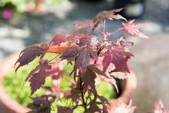 L'arbre d'Acer avec l'érable rouge part dans un jardin Photographie stock libre de droits
