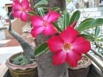 L'arbre d'Adenium fleurit photo libre de droits
