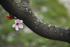 L'arbre d'amande Photos stock