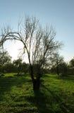 L'arbre d'amande avec poussent des feuilles image stock
