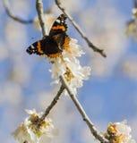 L'arbre d'amande fleurit, ciel bleu, fond de ressort Image libre de droits