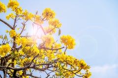 L'arbre d'aurea de Tabebuia ou l'arbre de trompette avec len l'effet de fusée photographie stock