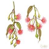L'arbre d'eucalyptus fleurit l'illustration réaliste de vecteur illustration libre de droits