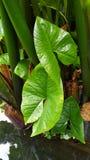 L'arbre d'oreille d'éléphant ressemble aux oreilles d'éléphant photo libre de droits