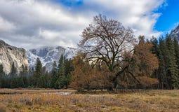L'arbre d'orme Image libre de droits