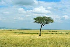 L'arbre dans la savane africaine Photos libres de droits