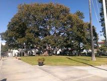 L'arbre de 100 ans Images libres de droits