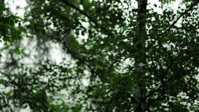 L'arbre de bouleau balance dans le vent clips vidéos