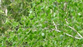 L'arbre de bouleau laisse des branches ondulant dans des couleurs saturées par vent banque de vidéos