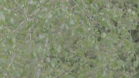 L'arbre de bouleau part sur des branches de ressort banque de vidéos