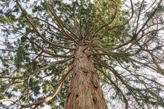L'arbre de conifère avec des branches aiment des tentacules Photographie stock