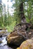 L'arbre de conifère de Survivalist est perché sur le rocher dans le bas courant images libres de droits