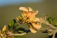 L'arbre de corail jaune fleurit au printemps photos stock
