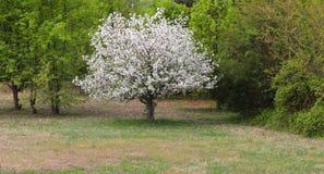 L'arbre de cornouiller avec les fleurs blanches prend le centre de la scène photos libres de droits