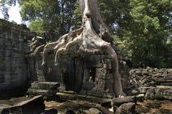 L'arbre de coton enracine couvrir une structure Photo stock