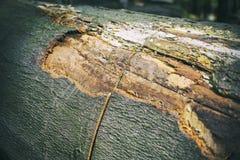 L'arbre de coupe, Image libre de droits