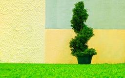 L'arbre de cyprès décoratif s'est développé en spirales dans un seau contre le contexte d'un mur peint photo libre de droits