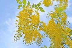 arbre de douche d 39 or belle fleur jaune photo stock image 53178538. Black Bedroom Furniture Sets. Home Design Ideas