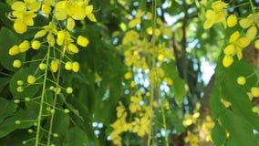 L'arbre de douche d'or fleurit filtrant la définition élevée clips vidéos