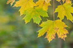 L'arbre de feuille d'érable, vert et jaune d'automne a brouillé le fond de nature Bonjour automne, concept de septembre Stationne photo libre de droits