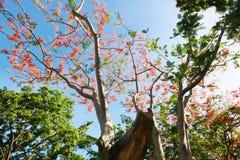 L'arbre de flamme ou le Poinciana royal Photo stock