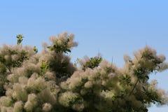 L'arbre de fumée toute la couleur est fortement variable, mais à son meilleur produit les nuances attrayantes de la photo jaune,  image stock