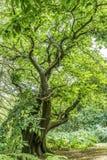 L'arbre de Greenwood Photos libres de droits