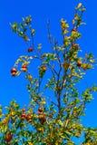 L'arbre de grenade, sur un ciel bleu photo stock